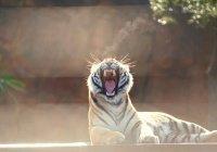 Сын тигра Амура отправится к невесте в ОАЭ