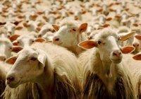 В Казани на Курбан-байрам организуют 15 площадок для забоя жертвенных животных