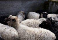 В Татарстане нуждающиеся смогут обратиться за жертвенным мясом в любую мечеть