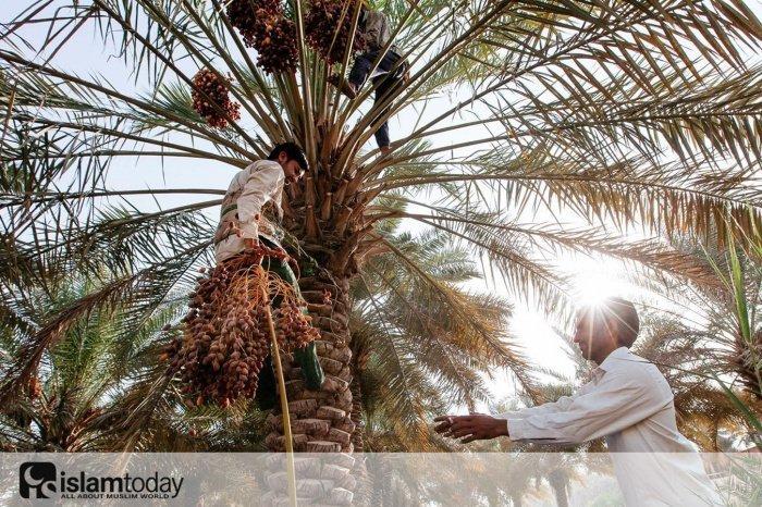 Сбор фиников в Саудовской Аравии (Источник фото: vk.com/beautyofmyworld)