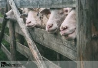 Как правильно выбрать жертвенное животное? Основные критерии