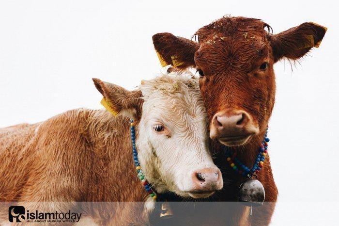 Этика закалывания животных. (Источник фото: unsplash.com)