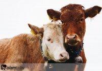 Этика закалывания: как Пророк (ﷺ) велел относиться к жертвенным животным?