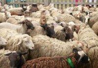 В Ингушетии нуждающимся раздали 1300 голов мелкого рогатого скота