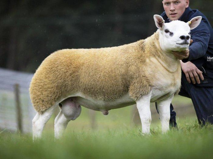 Бараны породы тексель — одни из самых популярных в Британии, их выращивают для размножения, в особенности из-за отличного качества мяса (Фото : Texel Sheep Society)