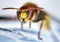 Гигантские агрессивные осы атаковали Британию