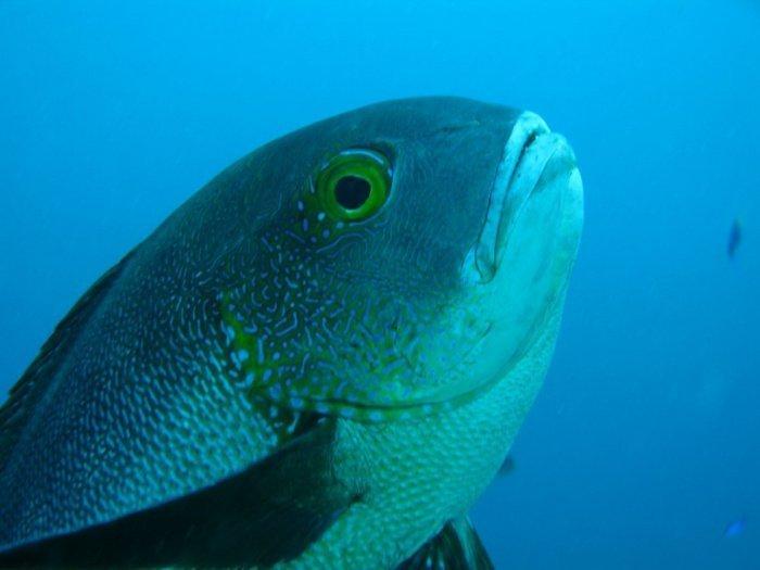 Рыбу выловили исследователи, изучающие продолжительность жизни тропических рыб (Фото: Australian Institute of Marine Science)