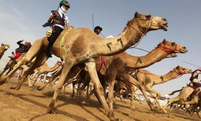 Верблюжьи бега популярны как среди жителей арабских стран, так и среди туристов.