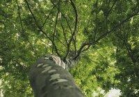 Назван возраст старейшего дерева в России