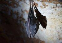 Объявлено об угрозе пандемии из-за еще одного вируса «летучих мышей»
