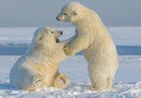 В Арктике стартовал сезон белых медведей