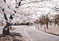 В Японии зафиксирован самый ранний пик цветения сакуры за последние 1200 лет