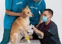 Загадочную болезнь собак связали с кишечным коронавирусом