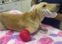 В ОАЭ пообещали $2,7 тыс. за поимку преступника, искалечившего собаку