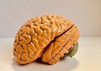 Доказана связь между интеллектом и активностью мозга