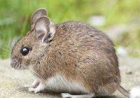 Действенность COVID-вакцин будут проверять на светящихся мышах