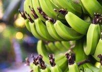 Определена польза перезрелых и зеленых бананов