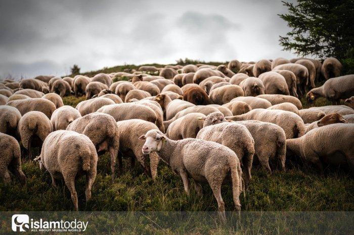 Стадо овец, которые пророк Ибрагим подарил ангелам (Источник фото: unsplash.com).