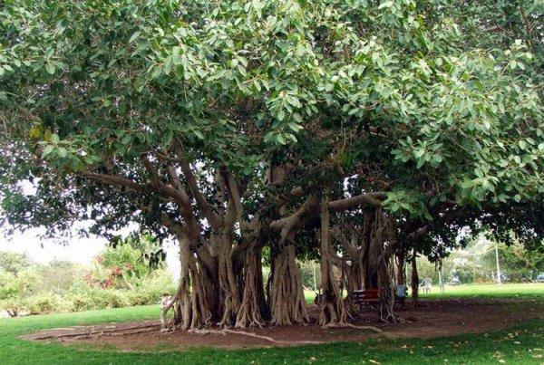 Смоковница - райское дерево