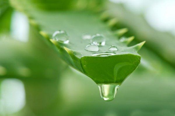 Алоэ - растение которое советовал использовать сам Посланник Аллаха (мир ему)