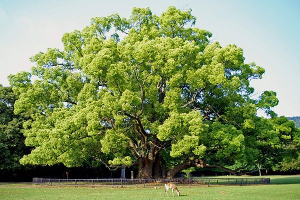 Как приводится от Ибн Аббаса и Абу Бакр Сиддика (да будет доволен ими Аллах!), это было пшеничное дерево. Есть те, которые говорят, что это была пальма, камфорное дерево, дерево Хулд, с которого ели ангелы, инжирное дерево.