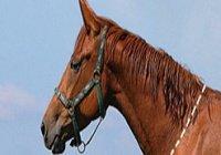 Можно ли мусульманину употреблять в пищу конину?