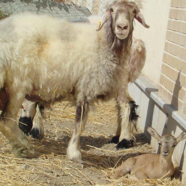 2-недельный детеныш муфлона, которого назвали Маралом, вполне здоров