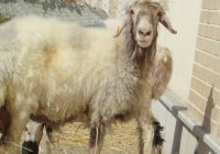 В Иране клонировали муфлона (ФОТО)