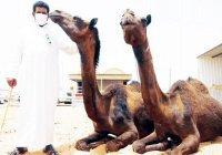 Хаджиям запретили резать верблюдов