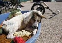 Удивительная история иорданского пса