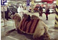 Араб припарковал верблюда на месте для инвалидов в ТЦ Екатеринбурга