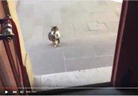 Турецкая кошка оборудовала дом для котят прямо на минбаре мечети
