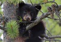 В Дальнегорске поймали третьего медвежонка за неделю