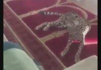 Гепард укрылся в саудовской мечети (ВИДЕО)