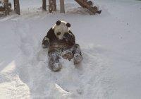 Панда, радующийся снегу, покорил Интернет (ВИДЕО)