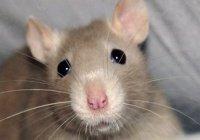 Японские ученые вырастили на спине крысы человеческое ухо