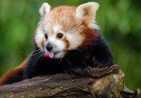 Красная панда Теаджмунн стала звездой Facebook