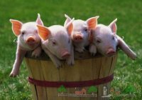 Скандал со свининой разгорелся в школах ОАЭ