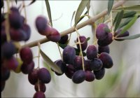 Как выращивают плод, воспеваемый в аятах Священного Корана?