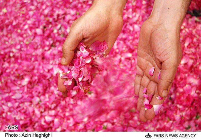 Иран: фестиваль самого любимого цветка Пророка Мухаммада (ﷺ)