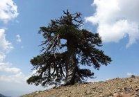 Найдено старейшее дерево в Европе