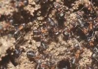 Жизнь без еды и света: найдены муравьи-экстремофилы