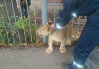 Львенок на городской прогулке по Уфе