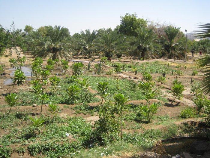 Финиковый сад халифа Усмана (р.а.), который кормит людей на протяжении 1400 лет