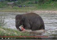 Слоненок, бросившийся в воду ради спасения человека, стал героем Сети