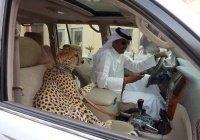 Жителям ОАЭ запретили держать дома тигров и львов