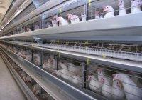 Татарстан на 7% увеличил производство мяса птицы