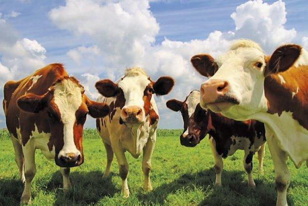 В Татарстане увеличиваются объемы производства мяса КРС