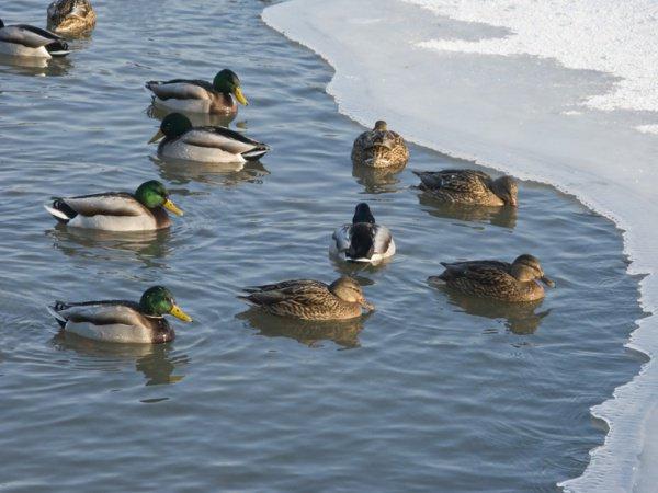 В Казани зимует большая стая уток-крякв