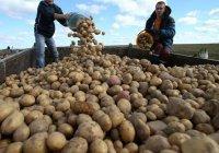 Татарстан - второй регион РФ по сбору картофеля